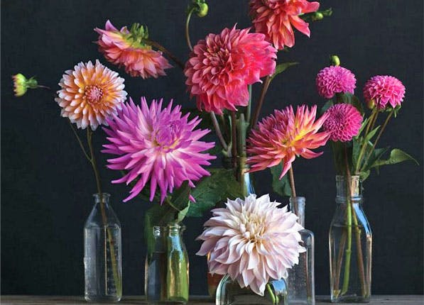 Silver Lake Farms Dahlias 597x430
