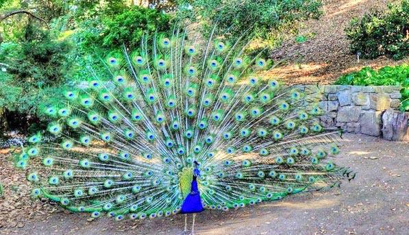 Museum Peacock 597x343