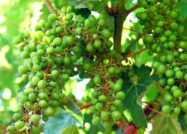 Napa Grapes 597x430