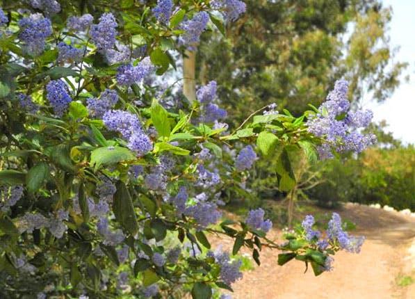 Lilacs 597x430