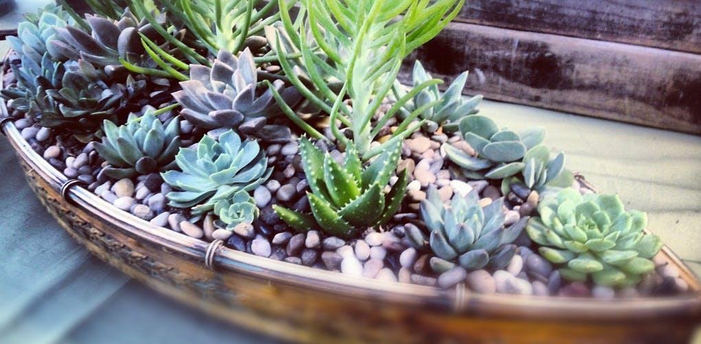 sanpellegrinoplants