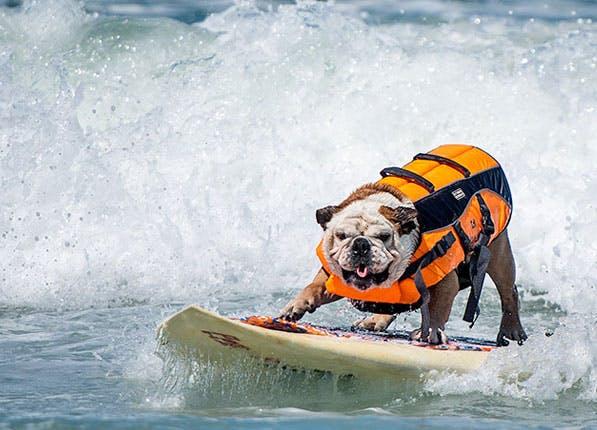 Dog Surf 597x430
