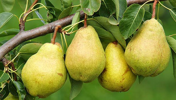 ripe fruit pears