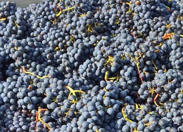 Wine Grapes 597x430