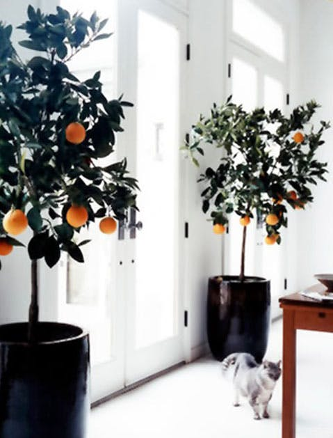 calamondin orange list