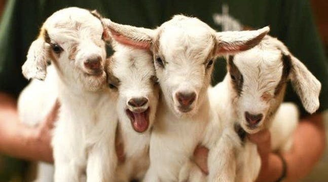 Guys, Theres a Farm in Virginia Thats Hiring Goat Cuddlers