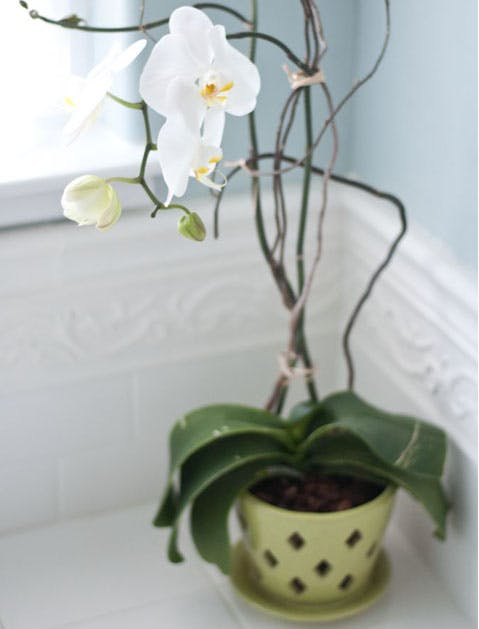 moth orchid list