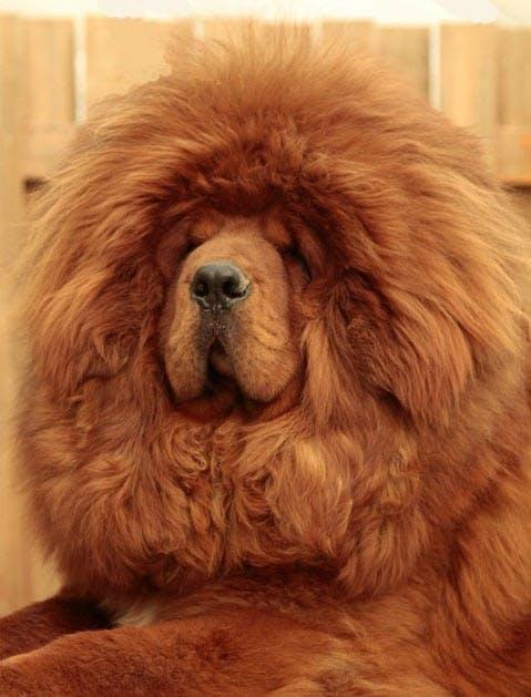 mastiff1