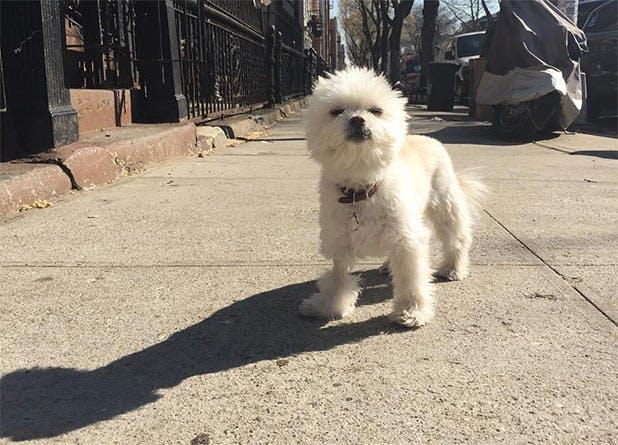 NY SpringDogs List8