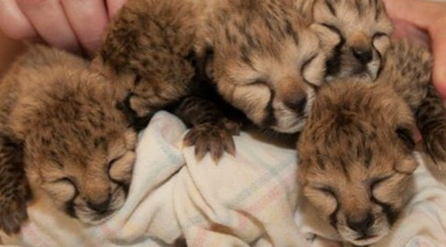 Cuteness Alert: These Newborn Cheetah Cubs Will Melt Your Heart