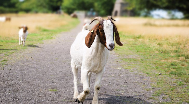 Goats Are the New Dogs, According to Science