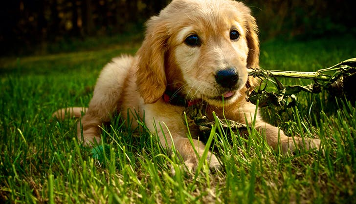 del monte puppy