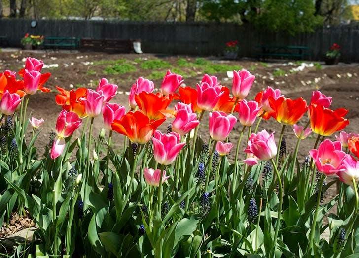 brooklyn botanic garden tulips NY 728