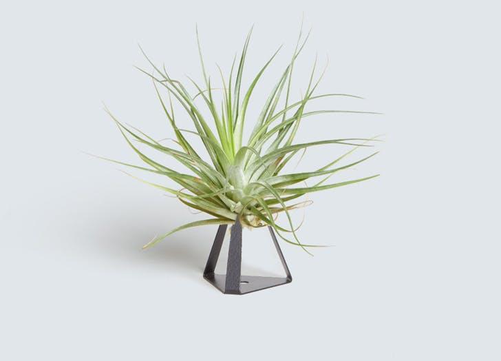 secret santa plant