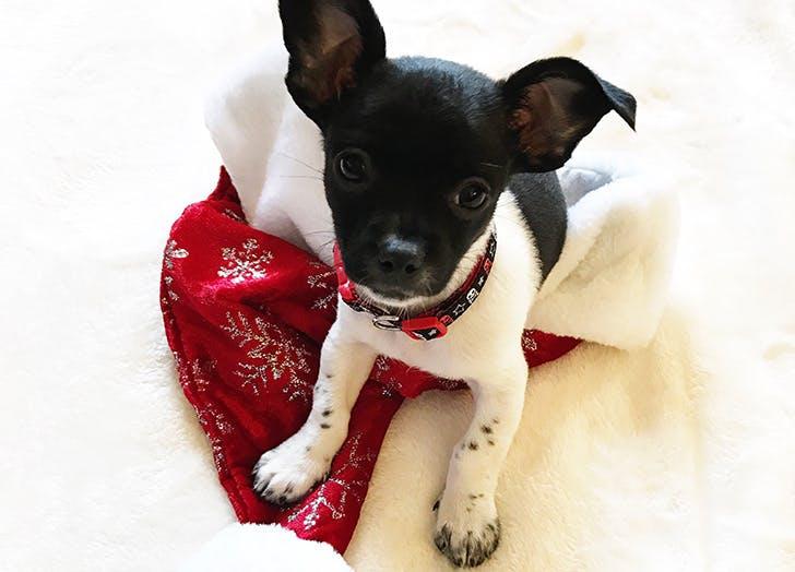 christmas social media puppy