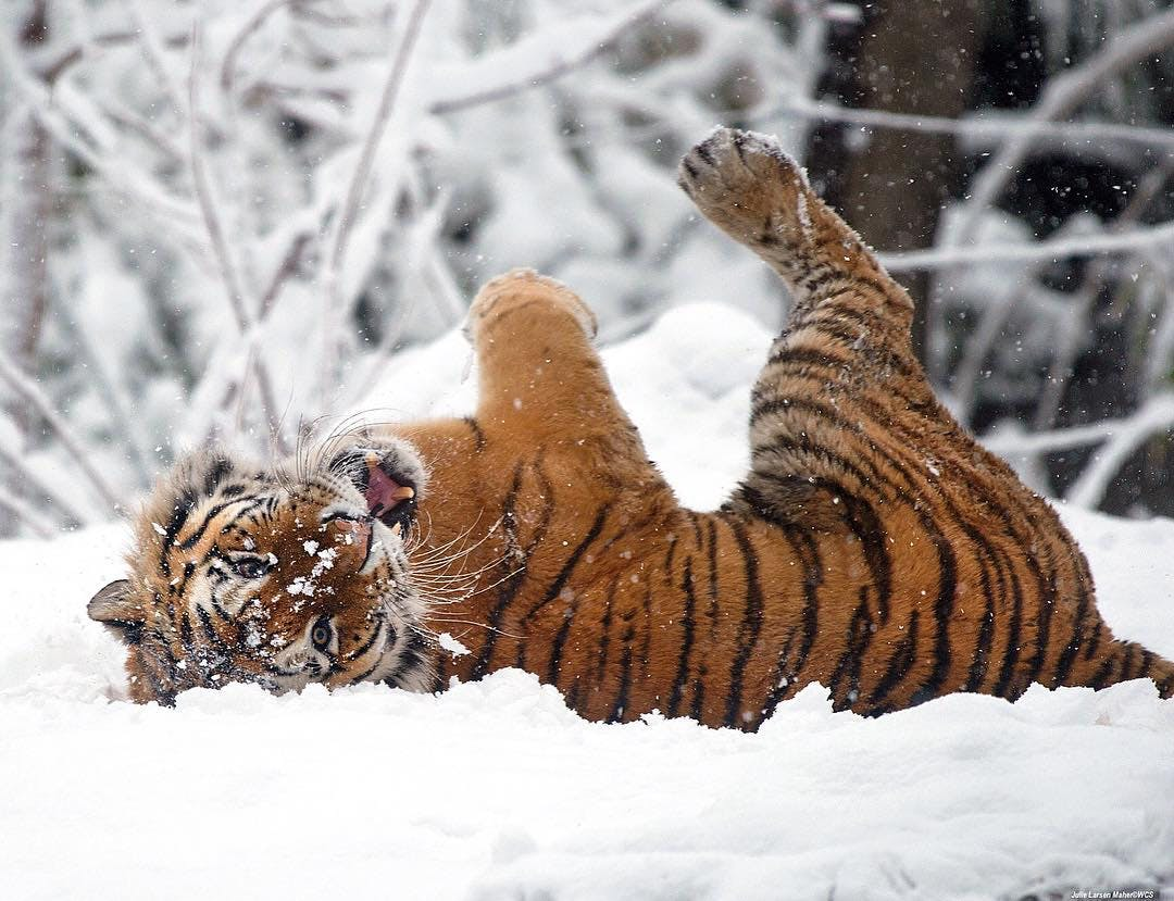 ny winter activites bronx zoo tiger snow