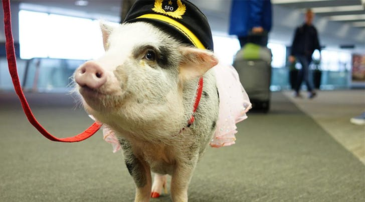 PSA: Airports Are Now Hiring Therapy Pigs