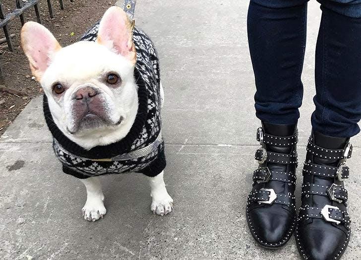 french bulldog sweater NY