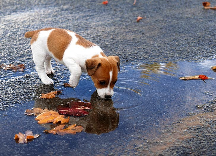 puppy drinking puddle