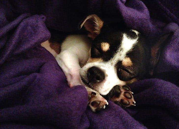sleeping puppy NY