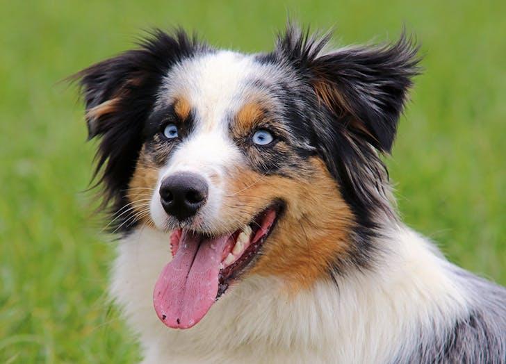 zodiac dogs aussie