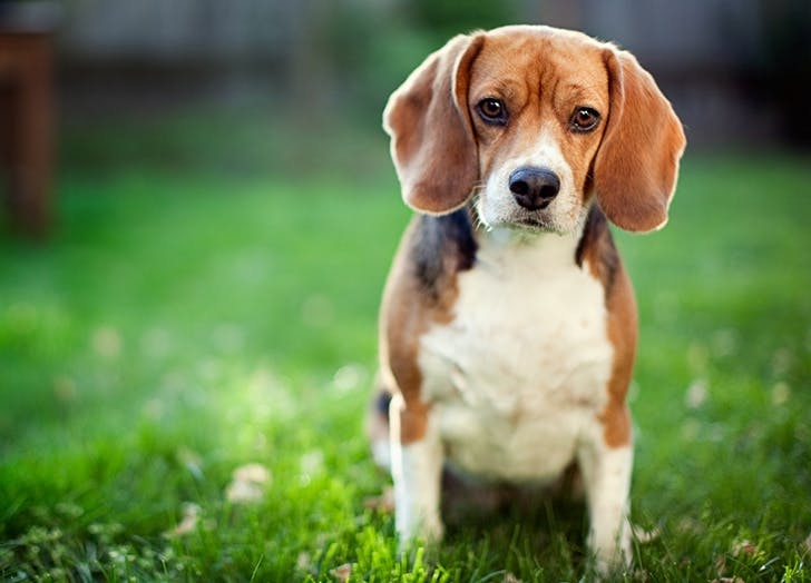 zodiac dogs beagle