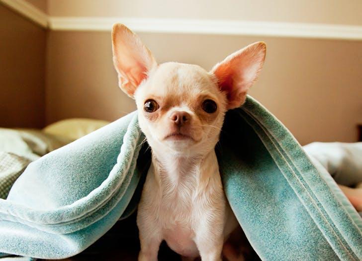zodiac dogs chihuahua