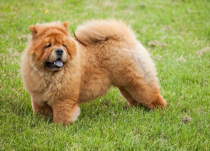 zodiac dogs chow