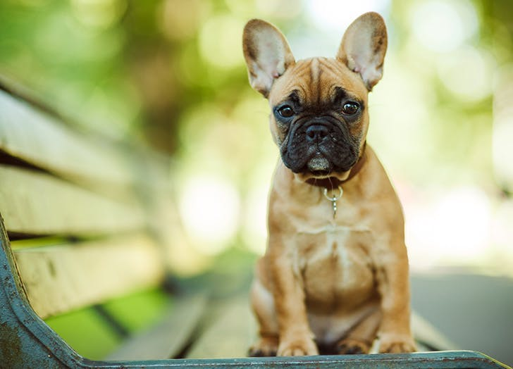 zodiac dogs french bulldog
