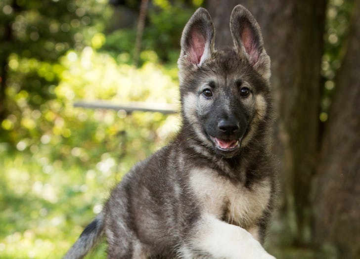 zodiac dogs germanshepard
