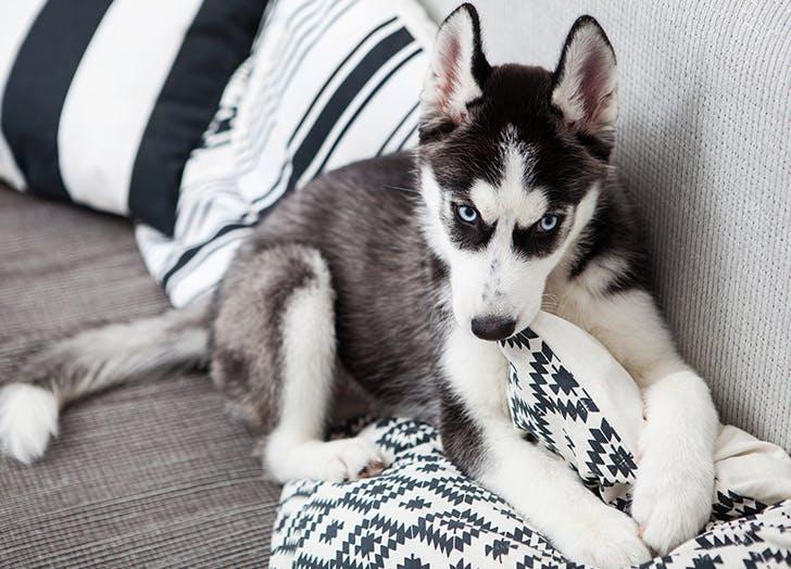zodiac dogs husky