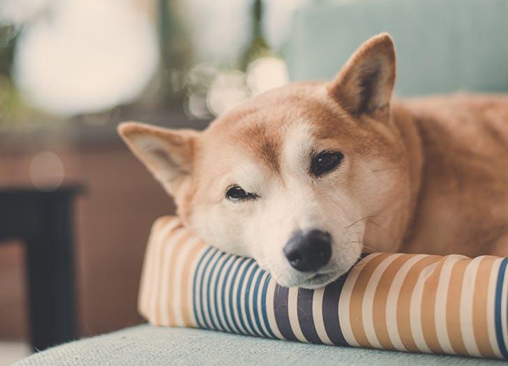 zodiac dogs shina ibu