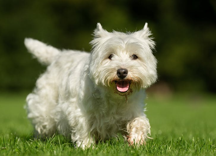 zodiac dogs terrier