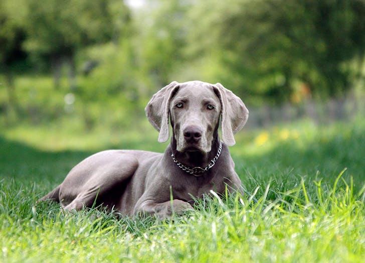 zodiac dogs weimaraner