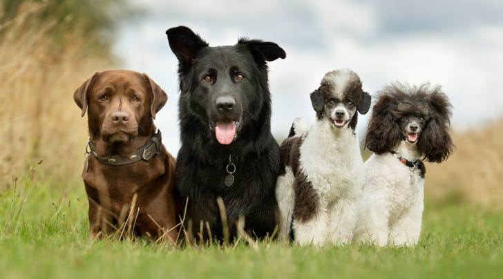 America's Favorite Dog Breeds Were Just Announced (Consolation Greenies Purchased Nationwide)