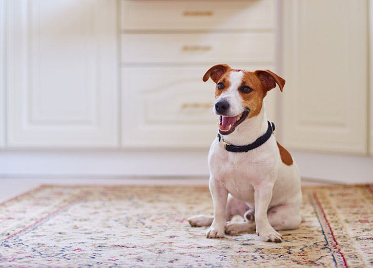 Cute Jack Russell sitting on carpet