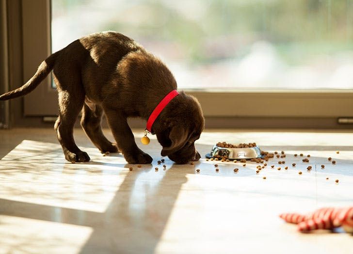 Puppy eating food off the floor