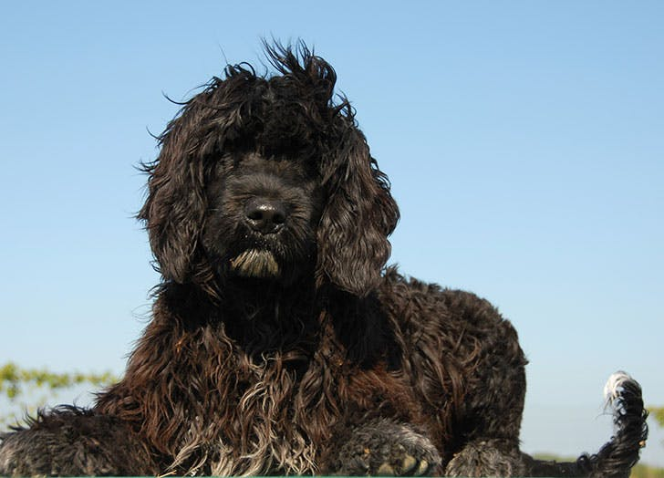 A black Portuguese Water Dog sitting in the sun