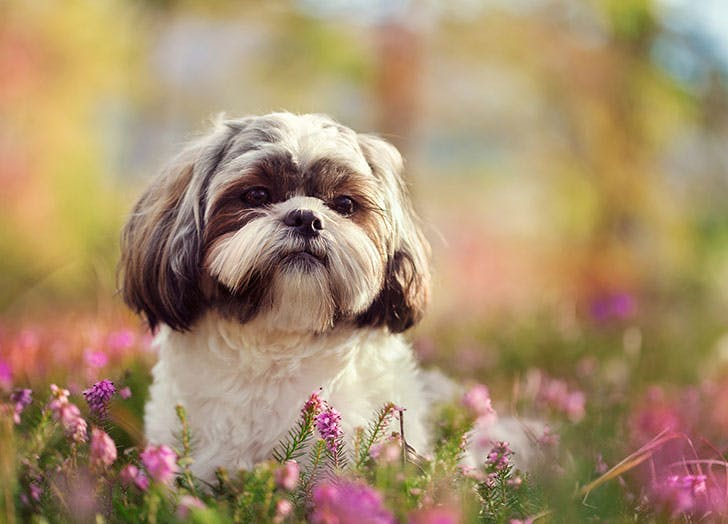 A brown and white Shih Tzu dog in the grass