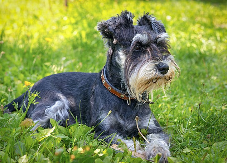 A hypoallergenic Schnauzer dog sitting in the grass