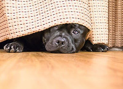 Cute black dog hiding underneath the curtains 400