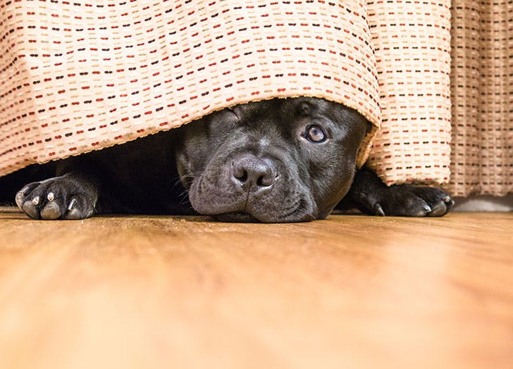 Cute puppy hiding under the curtains
