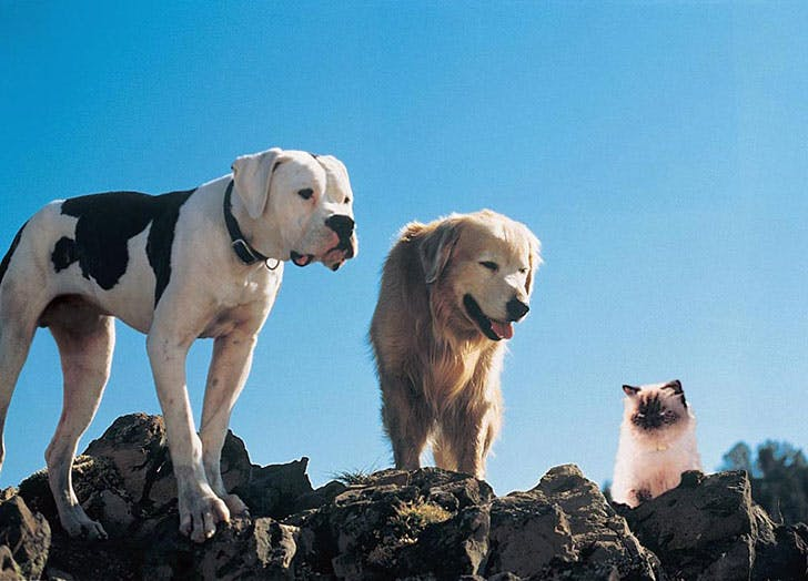 Pets from Homeward Bound The Incredible Journey