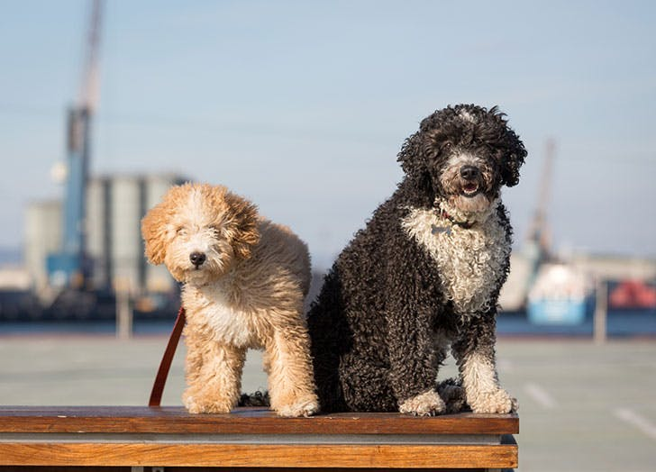 Two Spanish Water dogs sitting together