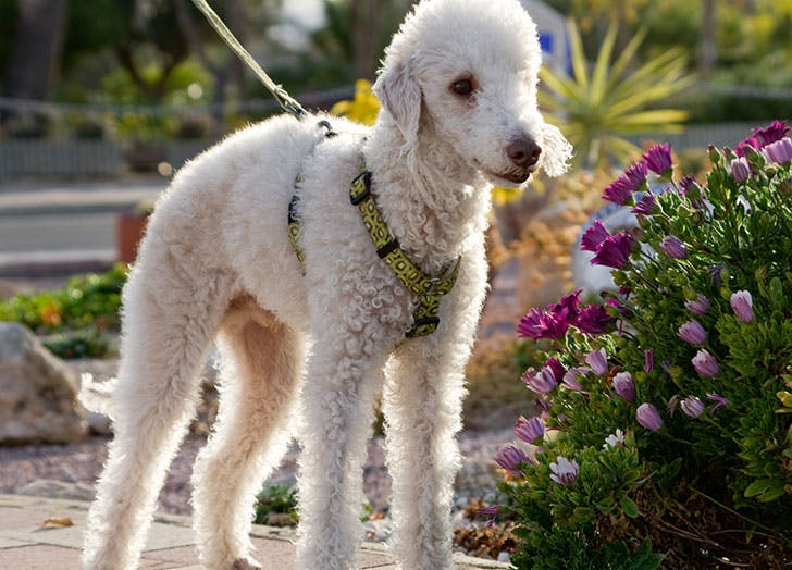 White Bedlington Terrier hypoallergenic dog