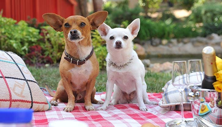 Best Dogs Chloe Papi Beverly Hills Chihuahua