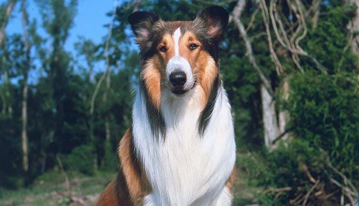 Best Tv and Movie Dogs Lassie