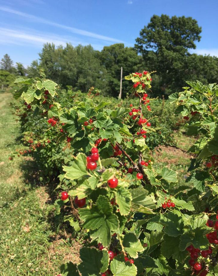 Russell Orchards berries