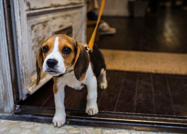 french dog puppy eyes