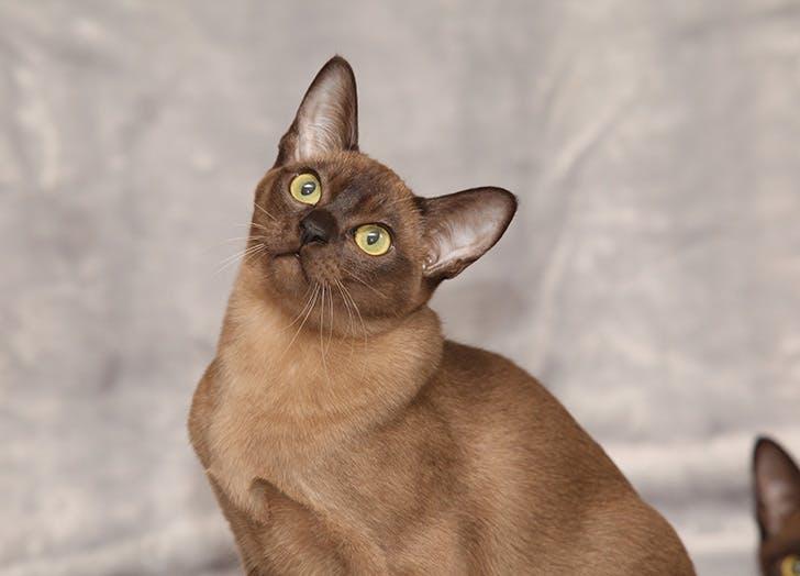 Cute brown Burmese hypoallergenic cat